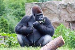Gorilla isst eine Niederlassung Stockbilder