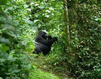 Gorilla in the jungle Stock Photos