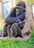 Gorilla keeping warm with sack. Sad gorilla in zoo wrapped in old brown sack for warmth stock photos