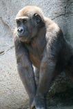 Gorilla Kid Stock Photos