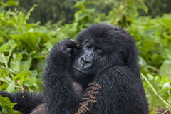 Gorilla Lady Portrait grávido Foto de Stock Royalty Free