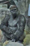 Gorilla. A large adult silverback gorilla Stock Image