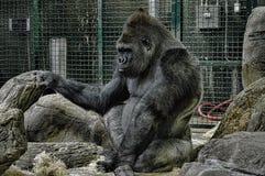 Gorilla. A large adult silverback gorilla Stock Images