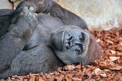 Gorilla. Laying on ground at zoo Stock Image