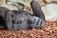 Gorilla. Laying on ground at zoo Royalty Free Stock Photography
