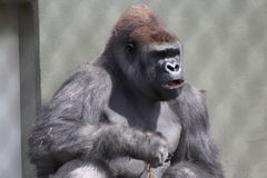 Gorilla. Leaning against wall eating Stock Image