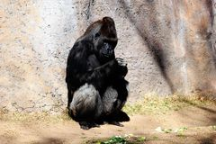A gorilla at the zoo. A gorilla leaning up against a wall resting at the Albuquerque New Mexico zoo Royalty Free Stock Photo