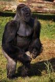 Gorilla levantesi in piedi di Silverback che mostra la sua potenza Fotografie Stock Libere da Diritti