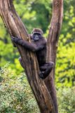 Gorilla lies in a tree stock image