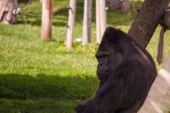 Gorilla in Lissabon-Zoo Stockfotografie