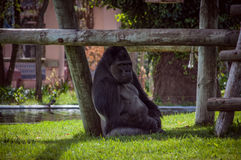 Gorilla in Lissabon-Zoo Stockfotos