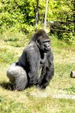 Silverback Gorilla Stock Images