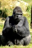 Silverback Gorilla. This gorilla lives in apenheul zoo park in apeldoorn the netherlands. He is Jambo and he has a harem of female gorillas. The apenheul zoo is stock photos