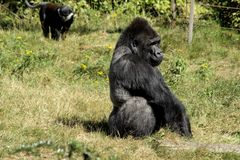 Silverback Gorilla. This gorilla lives in apenheul zoo park in apeldoorn the netherlands. He is Jambo and he has a harem of female gorillas. The apenheul zoo is stock image