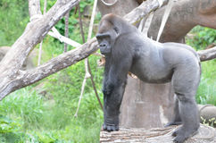 Gorilla on a log. A ten year old male gorilla stands on a log Royalty Free Stock Image