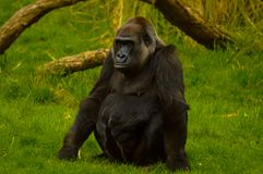 Gorilla at London Zoo. Gorilla sitting at London Zoo royalty free stock photo