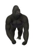 Gorilla looking around, monkey isolated on white background Royalty Free Stock Photo