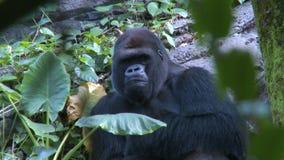 Gorilla looking camera stock video footage