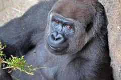 Gorilla Looking femminile alla macchina fotografica Immagini Stock Libere da Diritti
