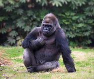 Gorilla looking straight in camera Royalty Free Stock Images