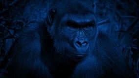 Gorilla Looks Around Jungle On Windy Night metrajes