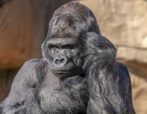 Gorilla looks like he is talking on phone royalty free stock photos