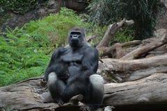 Gorilla. In Loro park in Tenerife Spain Stock Photo