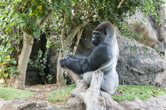 Gorilla in Loro-Parque. Tenerife. Spain. Gorilla sits on a stone in Loro-Parque. Tenerife. Spain Royalty Free Stock Photos