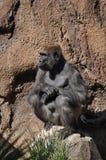 Gorilla. A gorilla at the Los Angeles zoo Stock Image