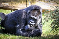 Gorilla lying on the green grass field and in a seemingly pensive manner behaviour. Large adult gorilla thinking lying ground. Gorilla lying on the green grass royalty free stock images