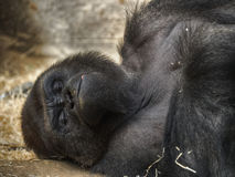Gorilla lying resting Stock Photography