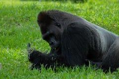 Gorilla Lying sur l'estomac avec la nourriture à disposition photographie stock libre de droits