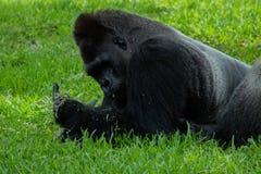 Gorilla Lying sur l'estomac avec la nourriture à disposition photos stock