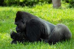 Gorilla Lying sur l'estomac tout en regardant la nourriture à disposition image libre de droits