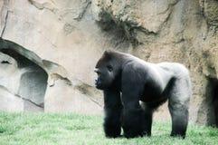 Gorilla macho fotografia stock libera da diritti
