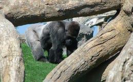 Gorilla macho immagine stock