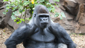 Gorilla making a serious face stock photo