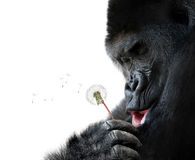 Gorilla making a wish, isolated on white background. Cute animal portrait of a big gorilla making a wish, isolated on a white background stock image