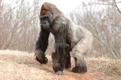 Gorilla male. Gorilla silver-back male in full view Stock Photography