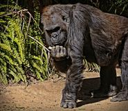 Gorilla. Male ape standing with fist in shadow Stock Photography