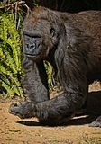 Gorilla. Male ape standing with fist in shadow Stock Image