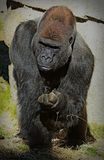 Gorilla. Male ape standing with fist in shadow Stock Images