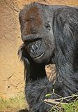 Gorilla. Male ape standing in grass Royalty Free Stock Photography