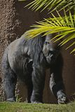 Gorilla. Male ape standing in grass with palm leaves Royalty Free Stock Photo