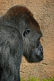 Gorilla. Male ape standing in profile Royalty Free Stock Images