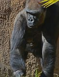 Gorilla. Male ape standing in shadow Stock Photos