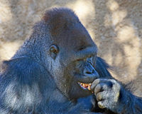 Gorilla. Male Ape tasting a piece of food showing teeth Royalty Free Stock Photography