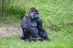 Gorilla Stock Photos
