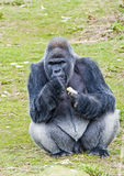 Gorilla Male Eating. Gorilla Male Sitting Eating Food Stock Images