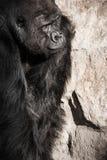 gorilla male Stock Image